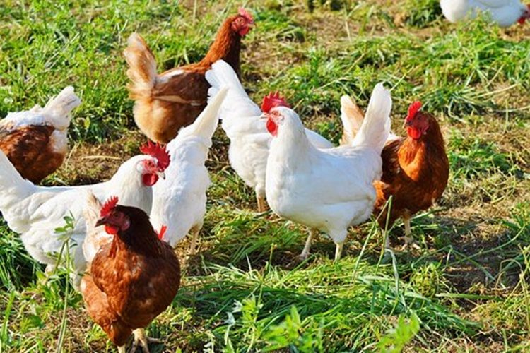 Iz kokošinjca u dvorištu kuće ukrao perad vrijednu nekoliko tisuća kuna