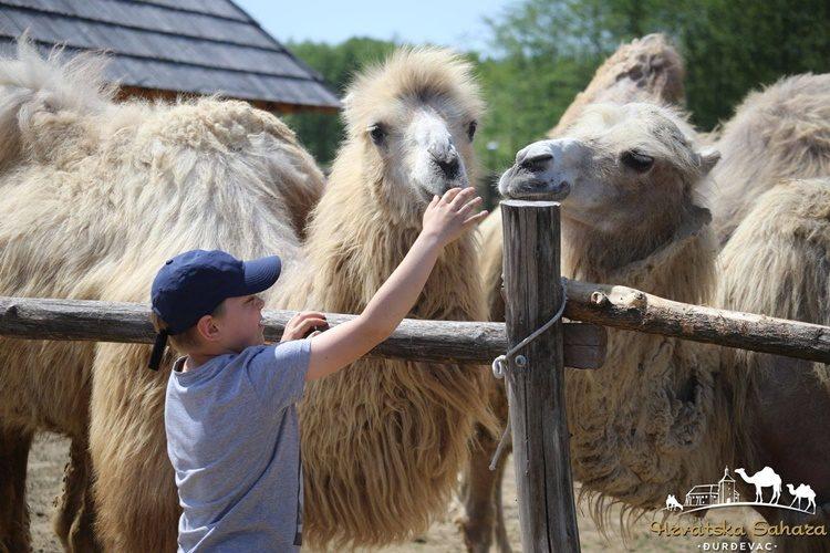 Hrvatska Sahara: deve ljetne dane provode u opuštanju i uživanju na suncu