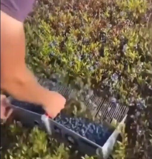 Znate kako se beru borovnice? Mi smo ostali šokirani, pogledajte video